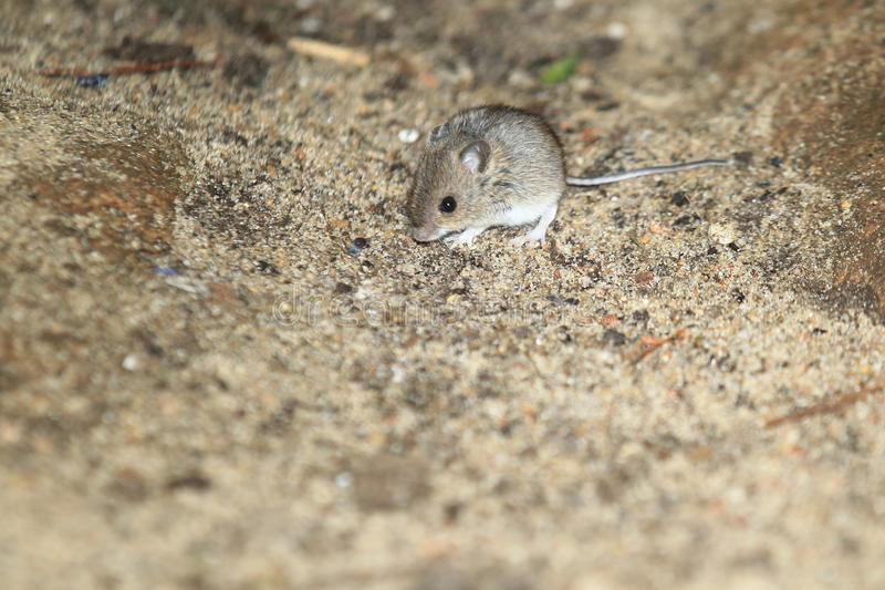 House mouse. In the soil stock photos