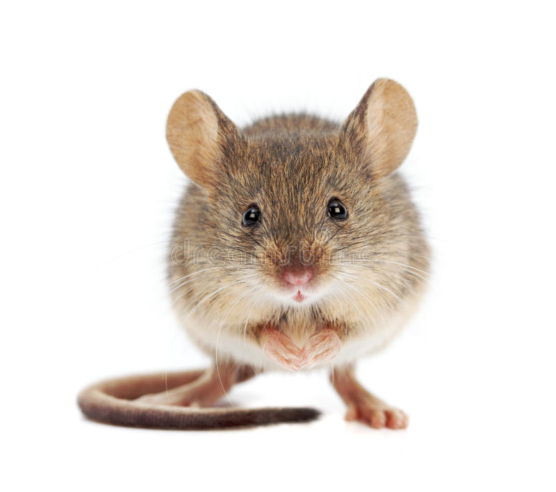 House mouse standing (Mus musculus) royalty free stock photos