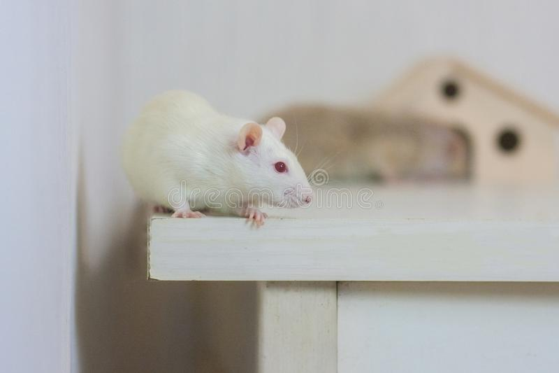 House. mouse white and house - mink. symbol of 2020. Chinese horoscope royalty free stock photography