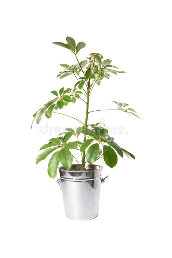 House Plant in bucket, plant isolated on white royalty free stock images