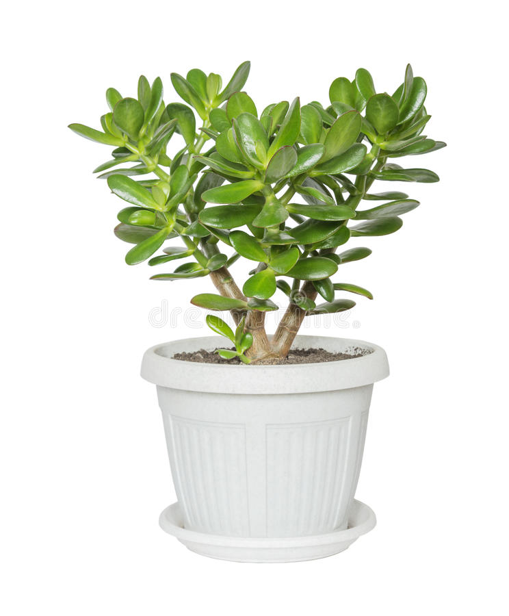 House plant Crassula stock image