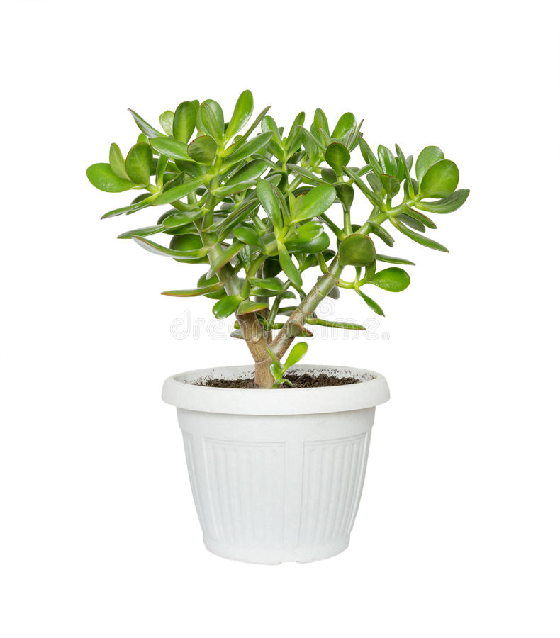 House plant Crassula royalty free stock photo