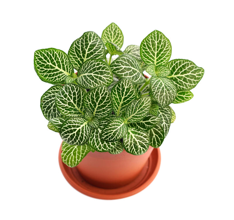 House plant Fittonia stock photography