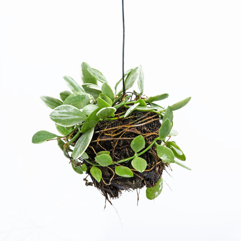House plant hanging stock image
