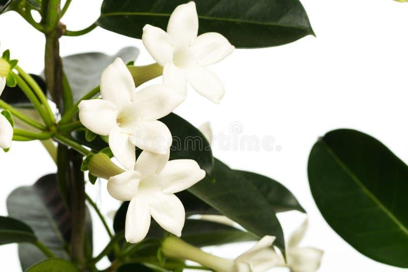 House plant  isolated on white background. Image royalty free stock photo