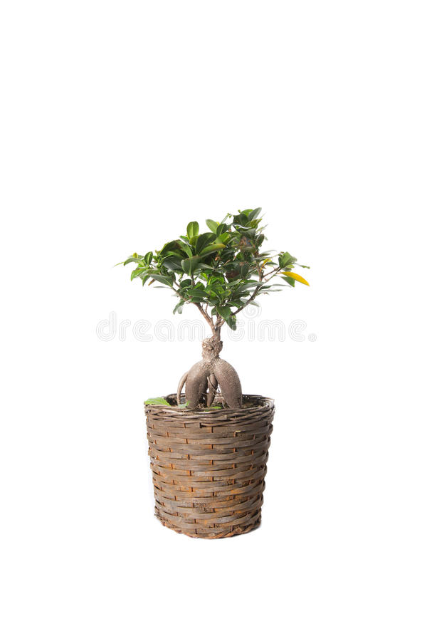 House Plant potted plant isolated on white royalty free stock photos