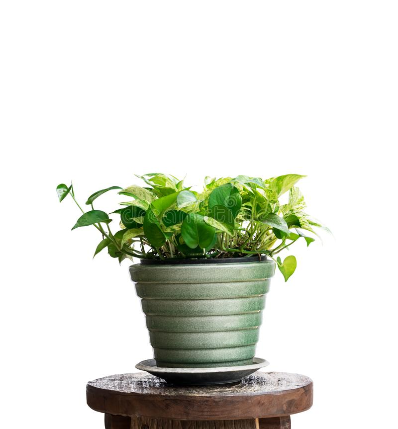 House plant in potted isolated on white. Background stock photo