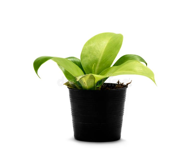 House plant in potted isolated on white. Background royalty free stock image