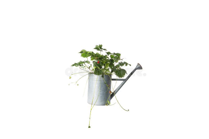 House Plant in watering can, plant isolated on white royalty free stock photography