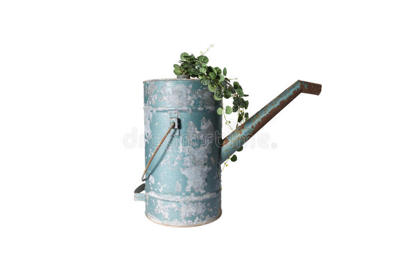 House Plant in watering can, plant isolated on white royalty free stock photos
