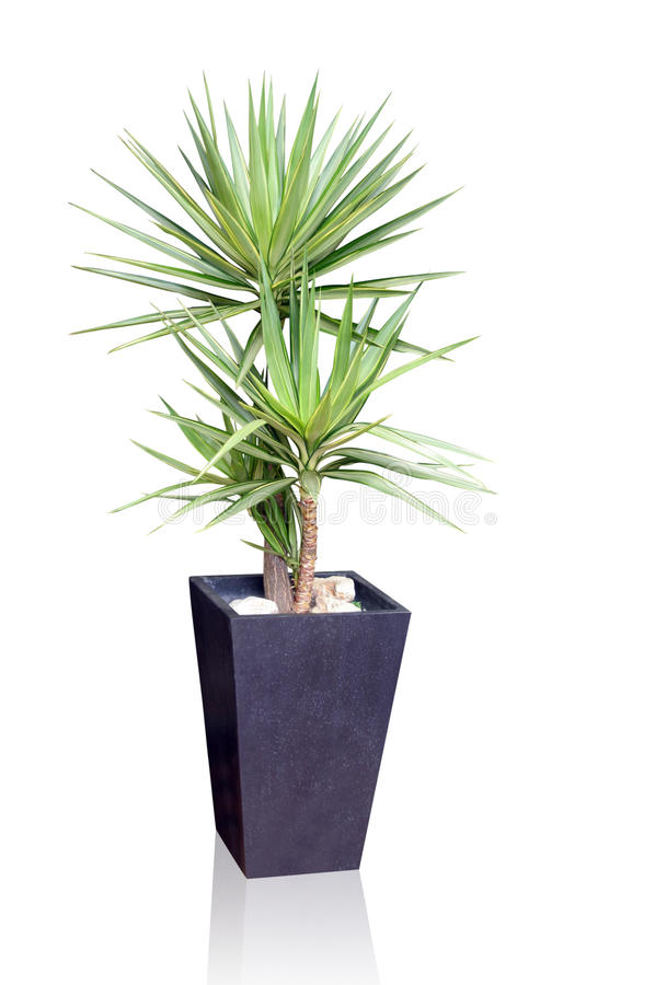 House plant - yucca stock images