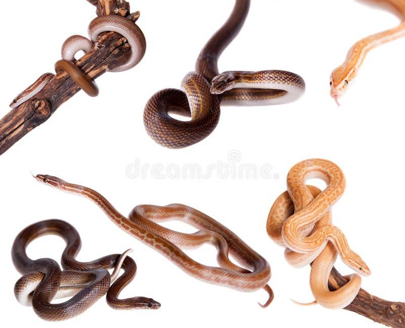 House Snakes set on white. House Snakes set isolated on white background stock image