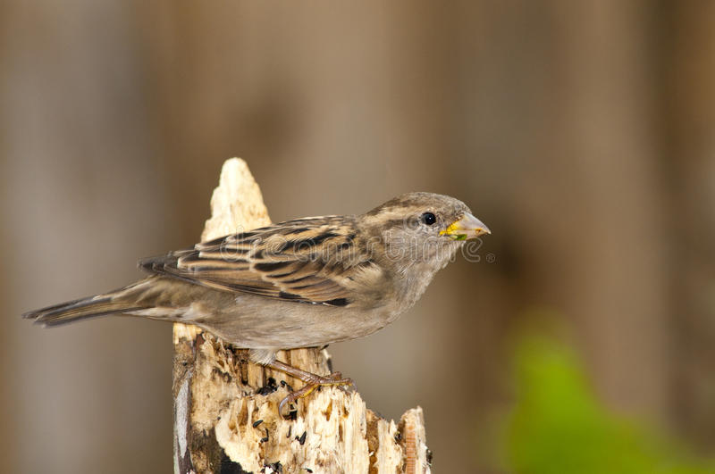 Download House Sparrow stock image. Image of close, feathered - 21880725