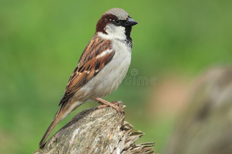 House sparrow stock image