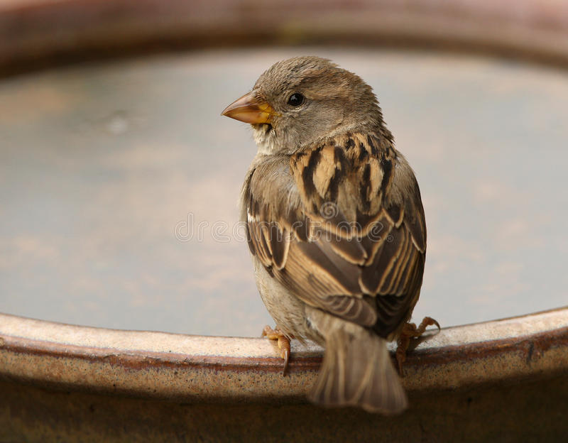 House Sparrow. A House Sparrow having a drink on a hot summer day stock image