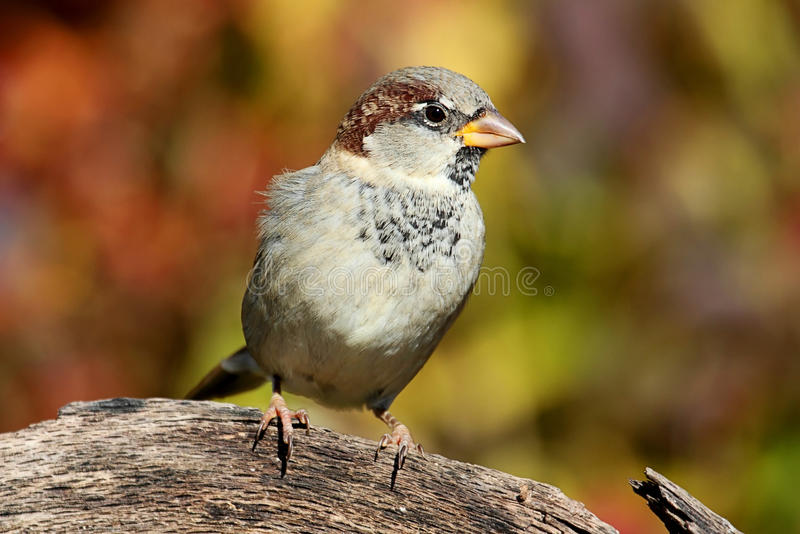 House Sparrow in Autumn stock photos