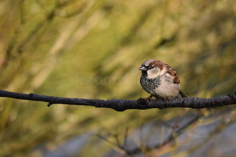 House Sparrow Bird Male Perched on a Branch. A male house sparrow perched on a branch in Winter - January 2019 royalty free stock photo