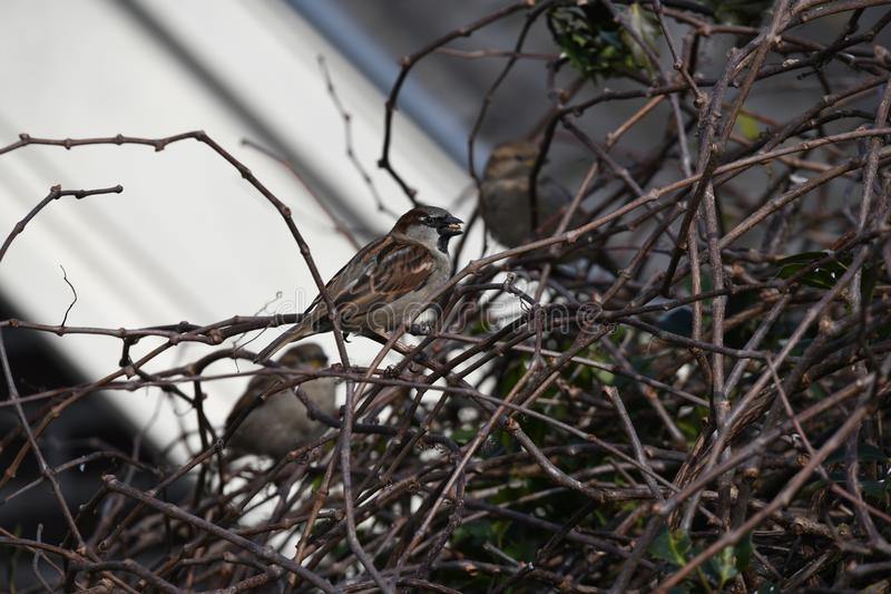 House sparrow in the Netherlands. House sparrow in the bush sitting on a branch location Abcoude the netherlands royalty free stock images