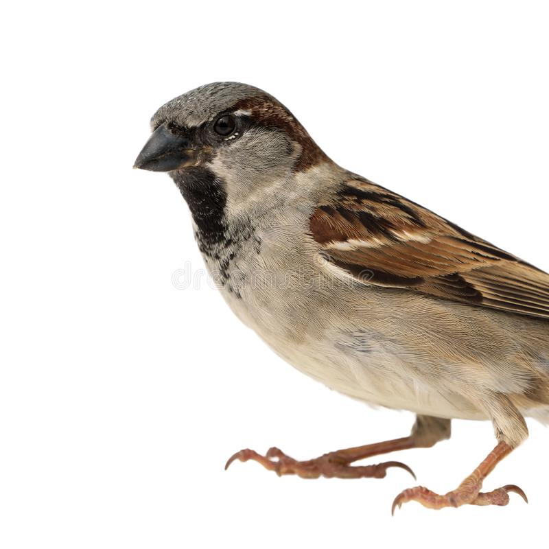 House sparrow close up stock photo