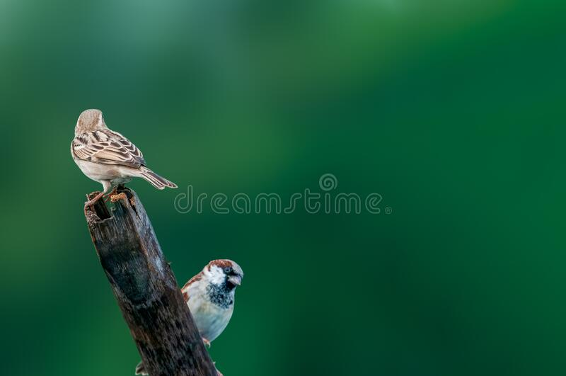 House sparrow. A couple of house sparrow against a green background stock photography