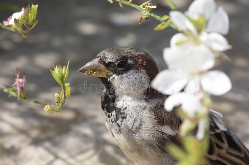 House Sparrow eating blossom flowers in spring royalty free stock photography