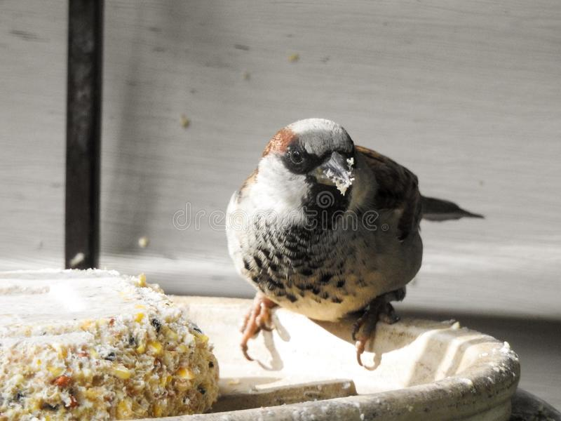 House sparrow eating seed cake royalty free stock photos