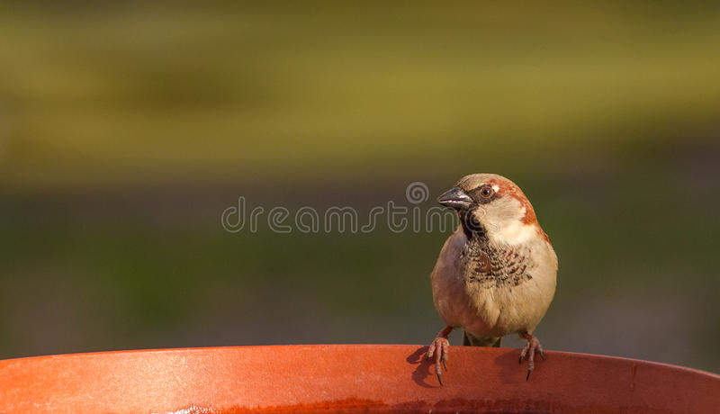 House Sparrow evening light. A male House Sparrow Passer domesticus in evening light illumination royalty free stock photo