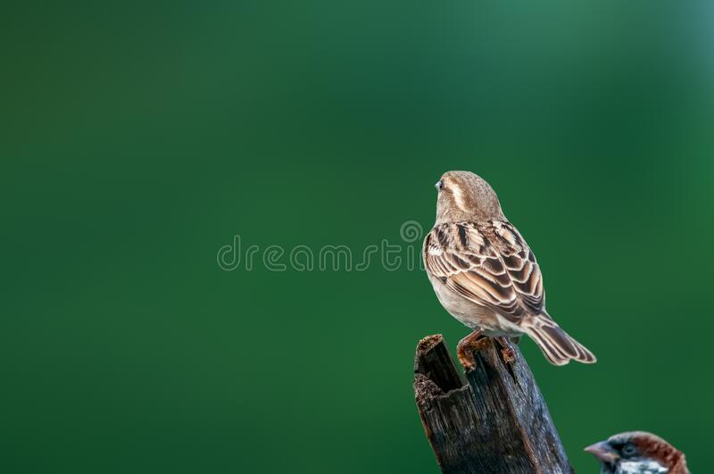 House sparrow. A female house sparrow against a green background royalty free stock photo