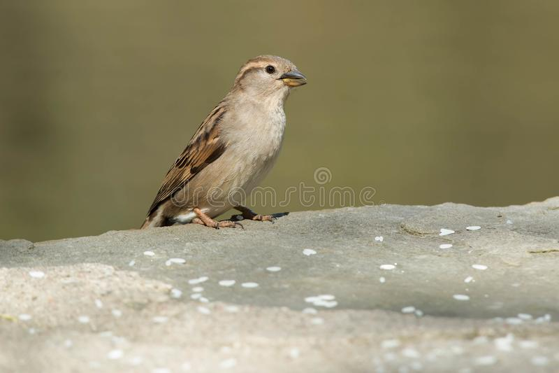 Download House Sparrow stock photo. Image of organism, natural - 116793024
