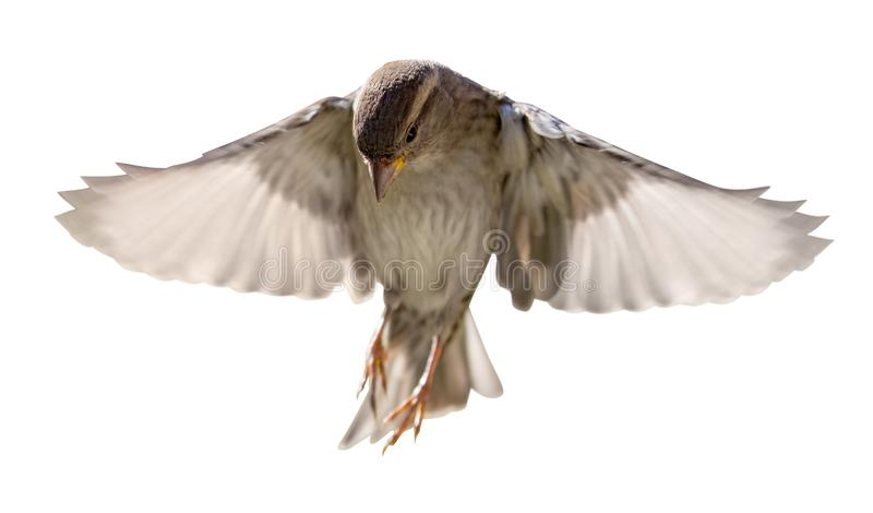 House sparrow in flight isolated on white royalty free stock images