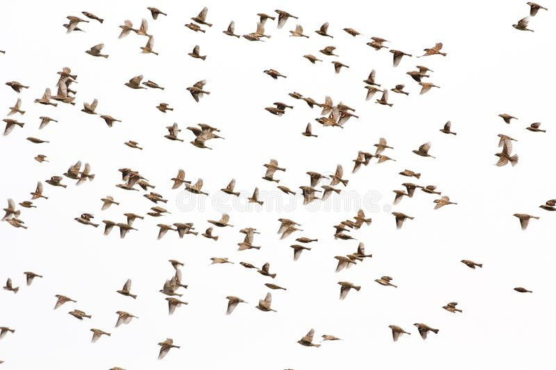 House sparrow flying background royalty free stock photography