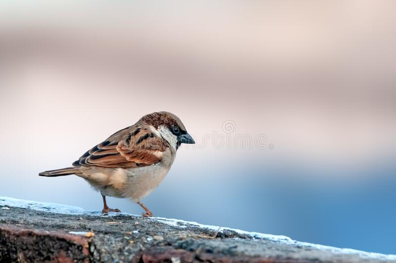 House sparrow. Sitting on a brick wall stock photography