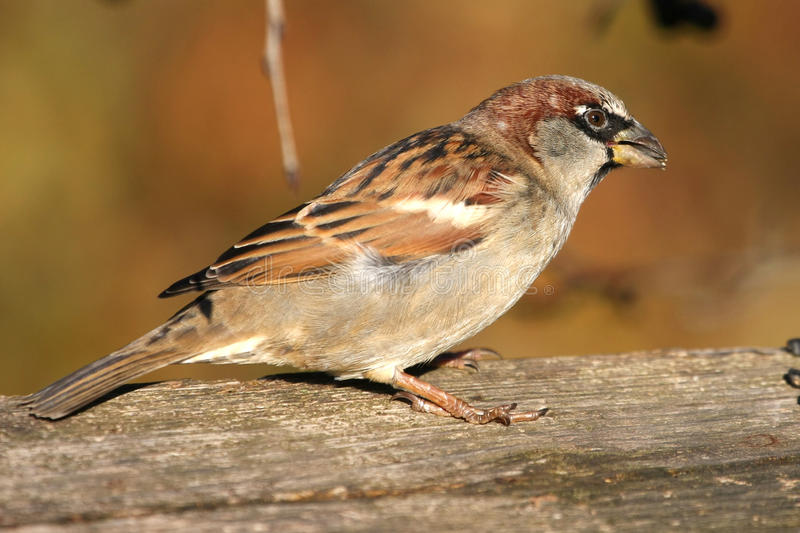 House Sparrow male stock photography