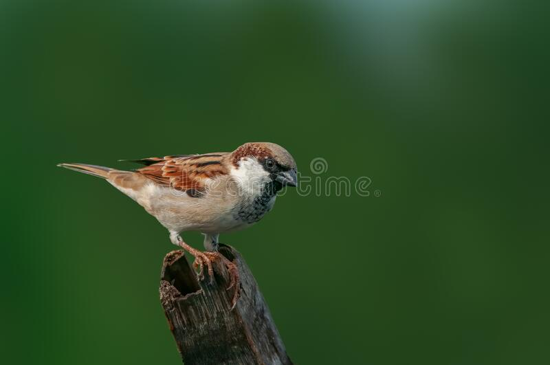 House sparrow. A male house sparrow against a green background stock image