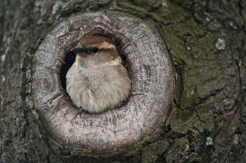 House sparrow in nest stock photography
