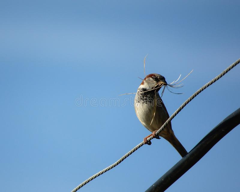 House sparrow with nesting material. stock image