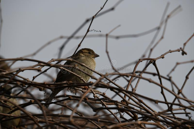 House sparrow in the Netherlands. House sparrow in the bush sitting on a branch location Abcoude the netherlands royalty free stock photos