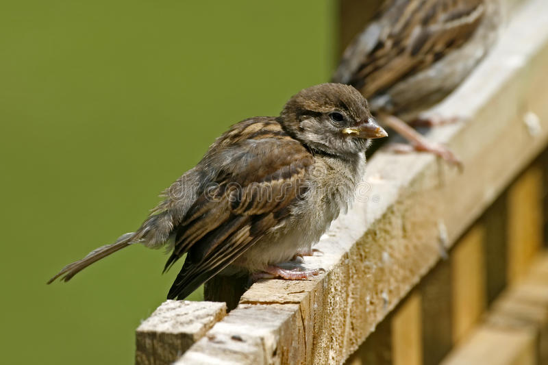 Download House Sparrow, Passer Domesticus Stock Photo - Image: 12494046