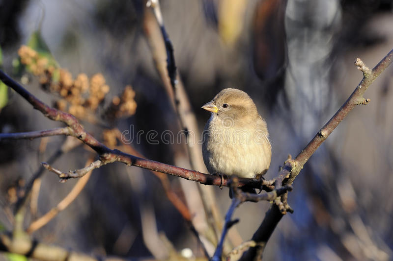 Download House Sparrow, Passer Domesticus Royalty Free Stock Images - Image: 16734039