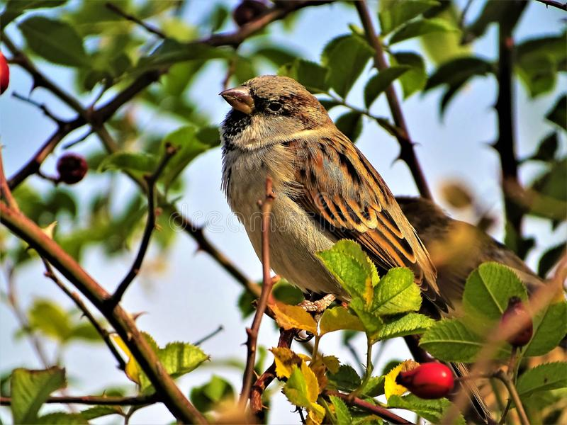 House sparrow (Passer domesticus)  perched on a tree branch in a warm October day stock photos