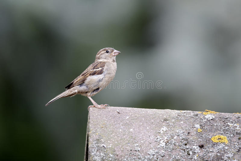 House sparrow, Passer domesticus royalty free stock photos