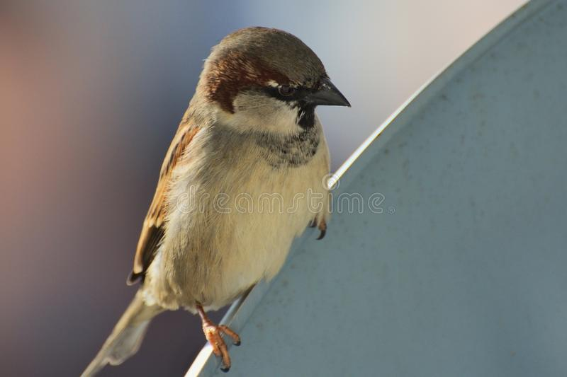 House sparrow, Passer domesticus, species of a small bird from the sparrow family Passeridae stock image