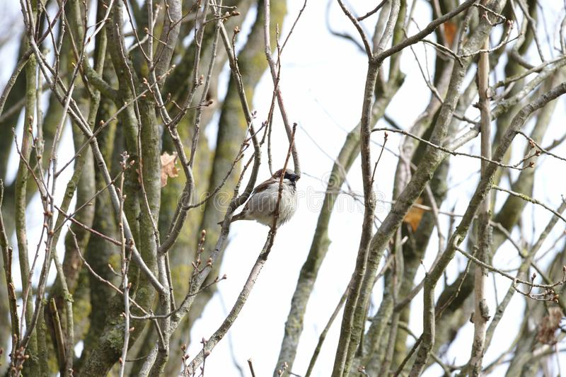 House Sparrow Passer domesticus in a tree stock image