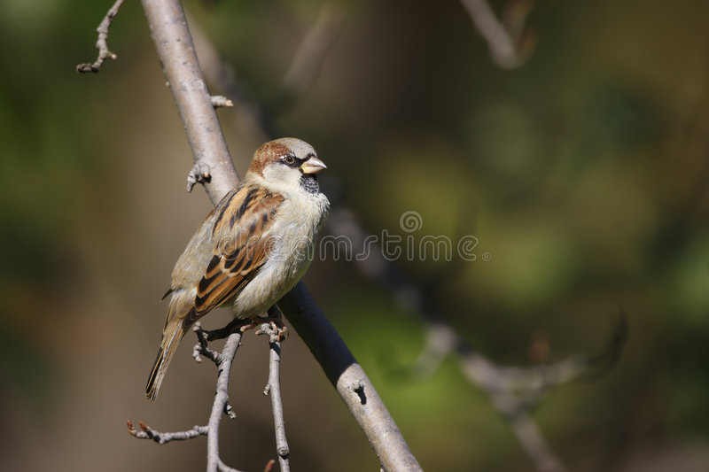 Download House Sparrow Perched On Branch Stock Image - Image of wildlife, feathers: 6870721