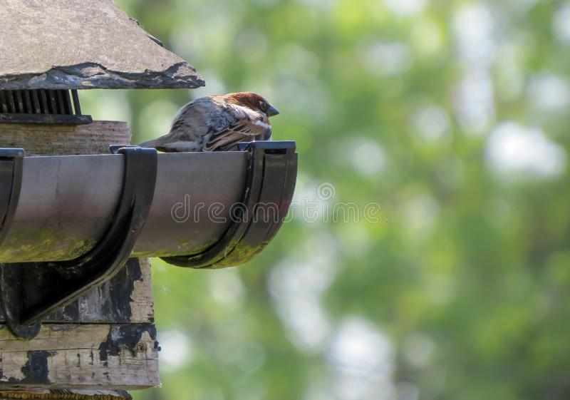House sparrow perched on guttering in eaves of roof. royalty free stock image