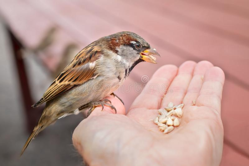 House sparrow sitting in human hand feeding on sunflower seeds royalty free stock images