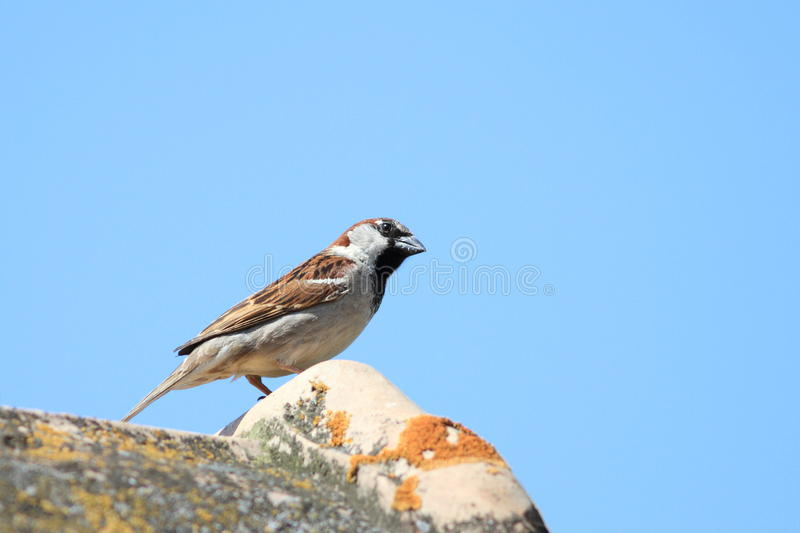 House sparrow on roof royalty free stock images