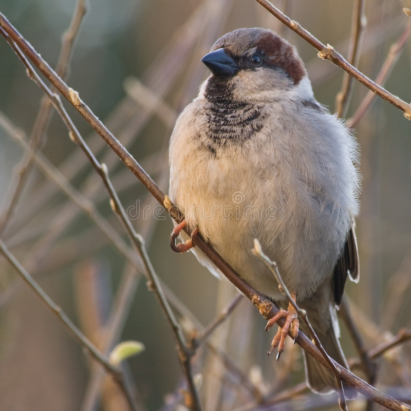 House sparrow in sun. House sparrow balancing on small branches in the morningsun stock image