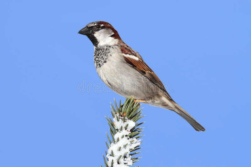 Download House Sparrow in Winter stock image. Image of tree, forest - 12910359