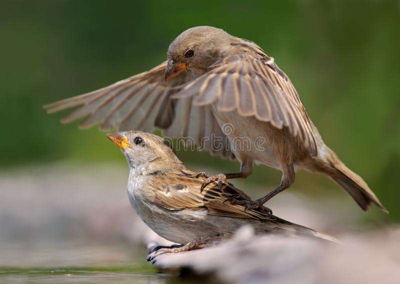 House Sparrows attacks another young bird sparrow. House Sparrows playing together in cruel game royalty free stock photography